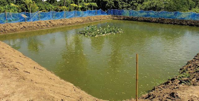kolam lele