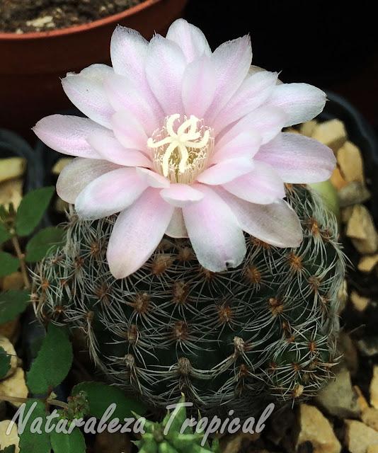Vista del cactus Gymnocalycium bruchii en flor