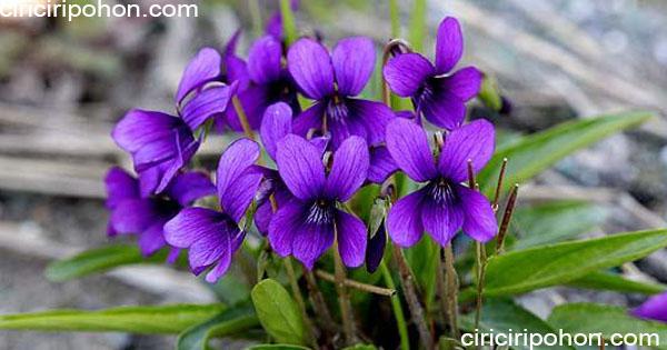 ciri ciri pohon bunga viola