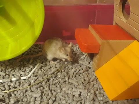 Gómez Adams (ratón macho)