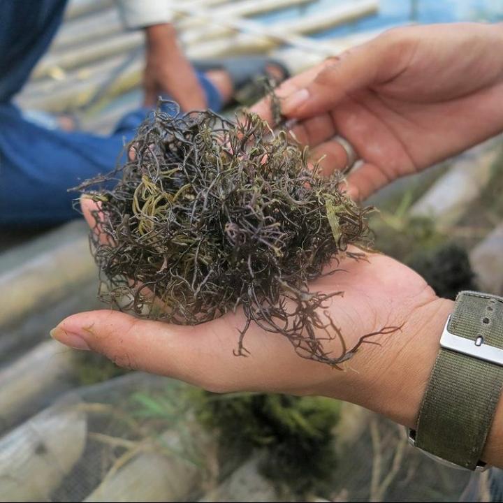 Rumput Laut Gracilaria