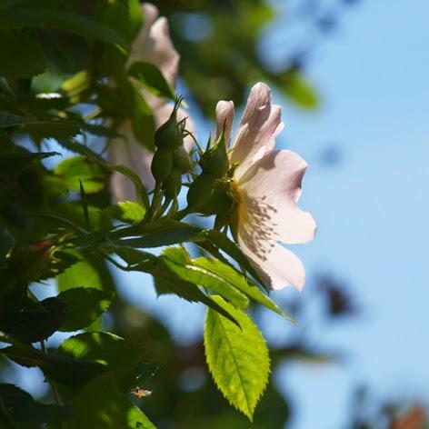 Smuk og enkel rose i haven, men fuld af livskraft og grovilje