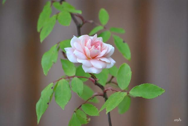 Thơ về hoa hồng, Chùm thơ hay viết về loài hoa hồng và tình yêu
