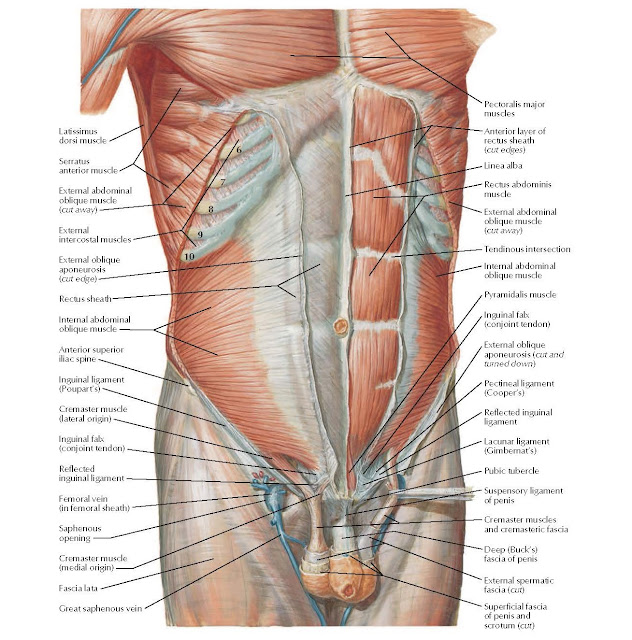 Anterior Abdominal Wall: Intermediate Dissection Anatomy Latissimus dorsi muscle, Serratus anterior muscle, External abdominal oblique muscle (cut away), External intercostal muscles, External oblique aponeurosis (cut edge), Rectus sheath, Internal abdominal oblique muscle, Anterior superior iliac spine, Cremaster muscle (lateral origin), Inguinal falx (conjoint tendon), Reflected inguinal ligament, Femoral vein (in femoral sheath), Saphenous opening, Cremaster muscle (medial origin), Fascia lata, Pectoralis major muscles, Anterior layer of rectus sheath (cut edges), Linea alba, Rectus abdominis muscle, External abdominal oblique muscle (cut away), Tendinous intersection, Internal abdominal oblique muscle, Pyramidalis muscle, Inguinal falx (conjoint tendon), External oblique aponeurosis (cut and turned down) Lacunar ligament (Gimbernat's), Pubic tubercle, Suspensory ligament of penis, Cremaster muscles and cremasteric fascia, Deep (Buck's) fascia of penis, External spermatic fascia (cut), Great saphenous vein Superficial fascia of penis and scrotum (cut), Pectineal ligament (Cooper's), Reflected inguinal ligament Inguinal ligament (Poupart's).