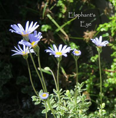 Felicia amelloides Kingfisher daisy