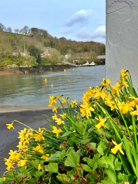 Wind swept daffodils at Fowey, Cornwall