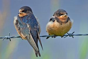 Sweet Writing Life: Exploring Barn Swallow Babies {SOL 8 ...