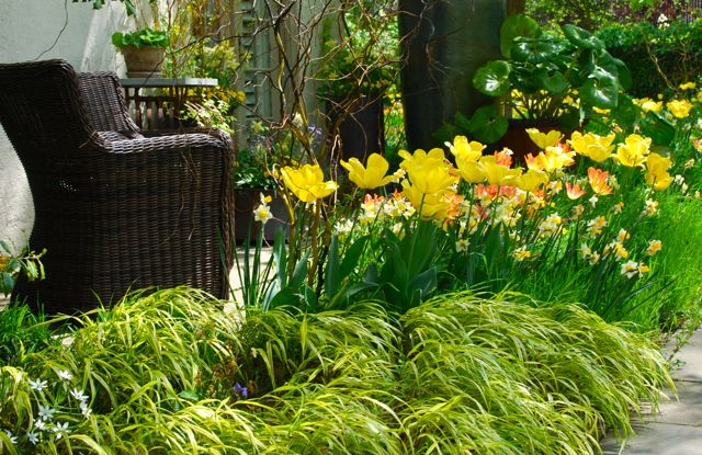 Japanese forest grass, Hakonechloa macra 'Aureola', shinning with yellow tulips at Chanticleer Gardens in April.