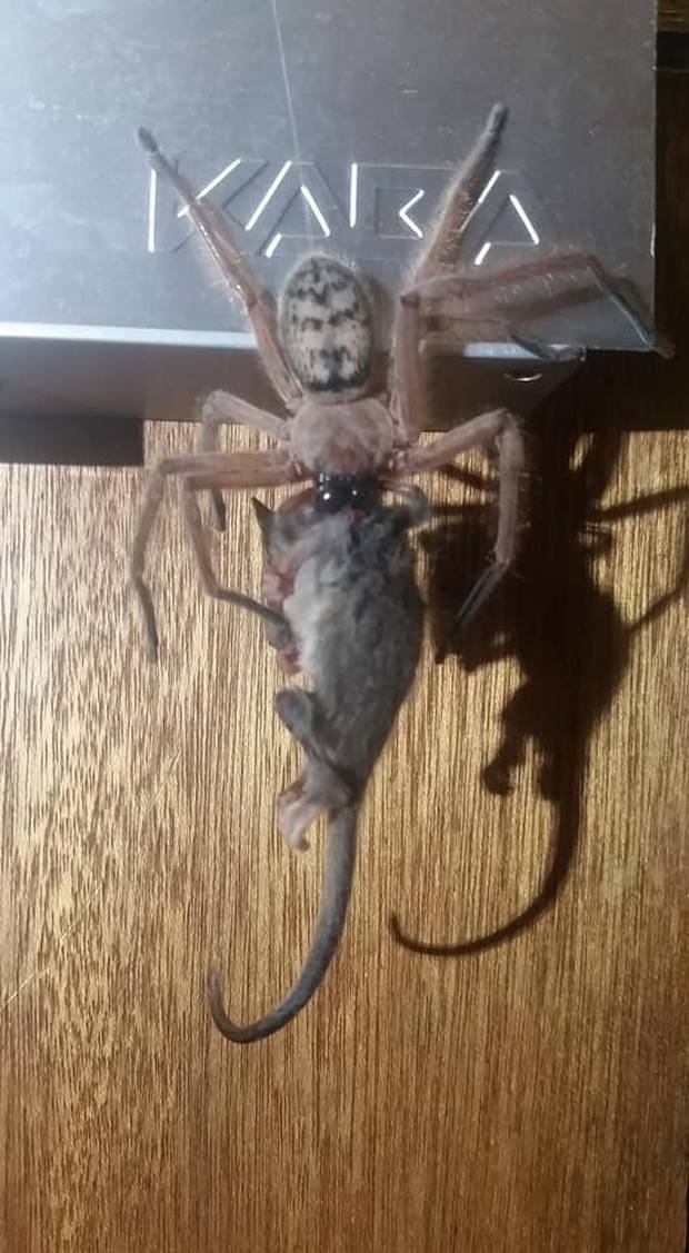 Huntsman spider eating a  pygmy possum