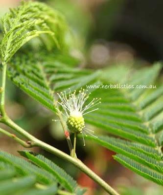 Cebil colorado Anadenanthera colubrina