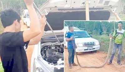 Penangkapan ular king kobra di kap mesin mobil
