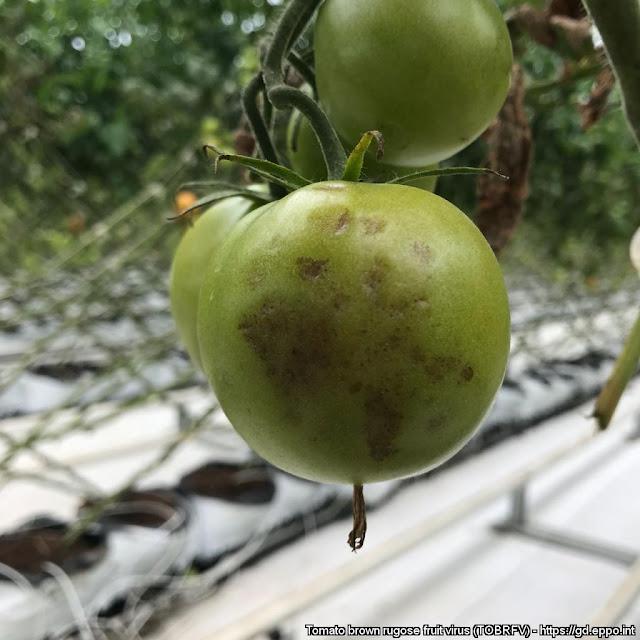 « Νέος και εξαιρετικά επικίνδυνος ιός για την καλλιέργεια της τομάτας και την πιπεριάς»