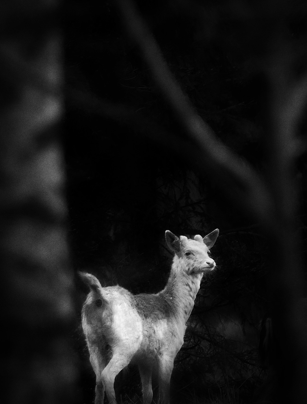 den vita hjorten