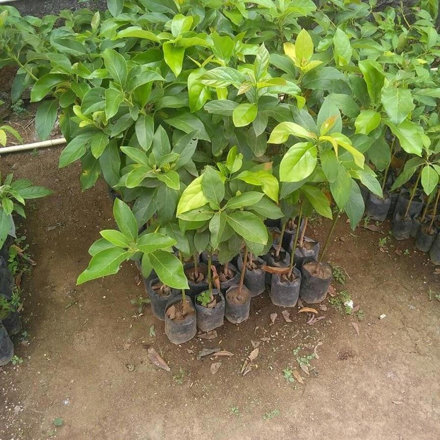 Tanaman Bibit Buah alpukat non biji Okulasi Cepat Berbuah Tambulampot Jawa Barat
