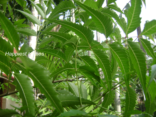 Neem-Tree+neem-oil-products.png