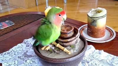 suara terapi lovebird, agar lovebird ngekek panjang
