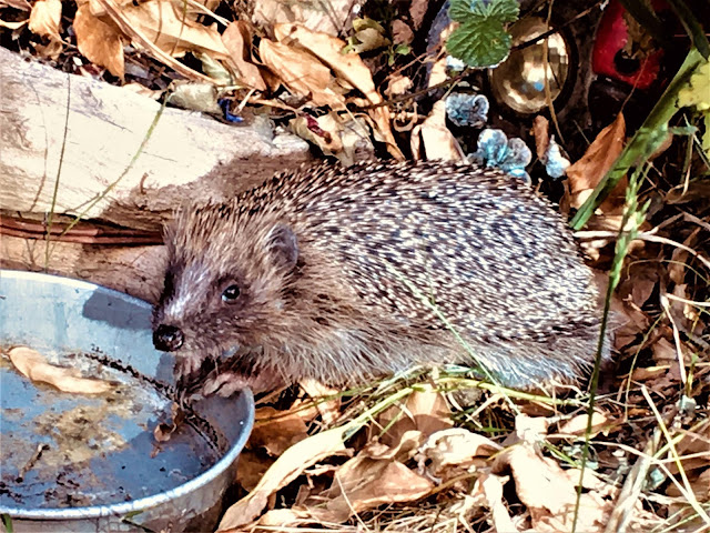 thirsty hedgehog uk garden
