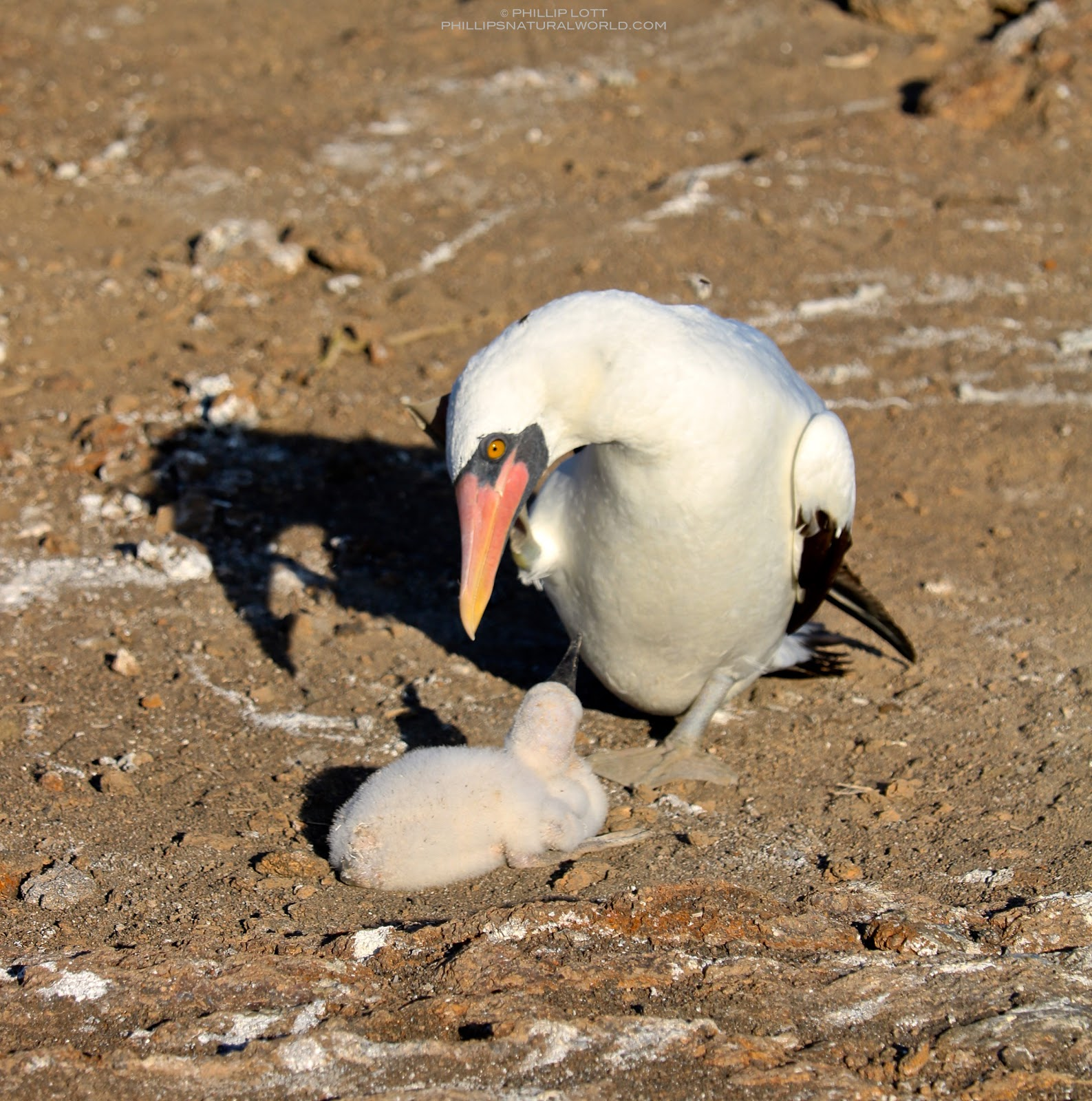 in cases where there are two chicks the guides tell us the younger is usually killed by the older sibling