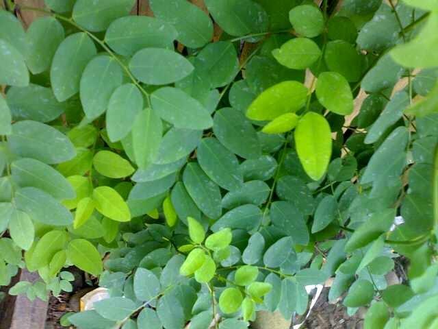 Hasil gambar untuk daun kayu manis bali