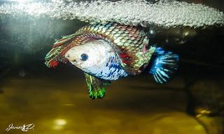 Budidaya Ikan Cupang Detail Cocok untuk Pemula