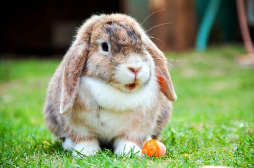 Jak dbać o zęby królika?
