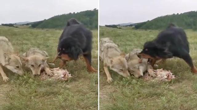 Тибетский мастиф, защищающий пожилого волка и его добычу от голодной стаи, стал героем видео