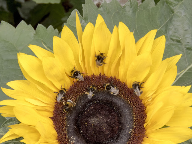 Self-drive around Iceland's Golden Circle: Bees on a sunflower at Friðheimar