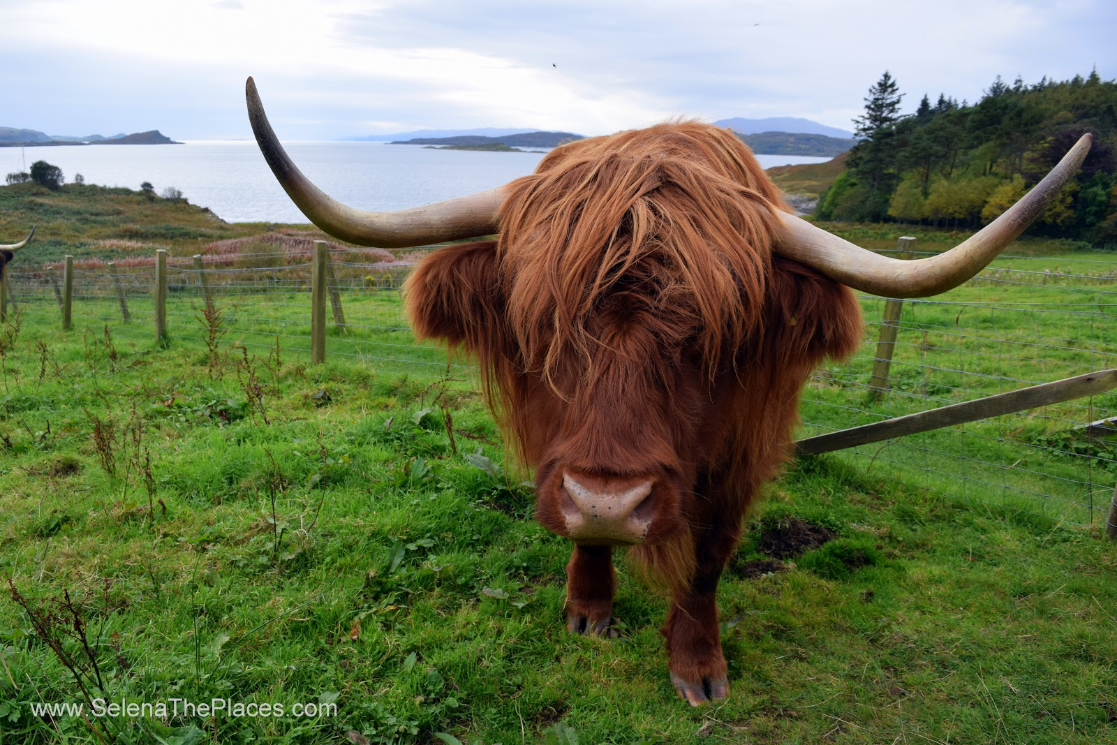Highland Cow Scotland