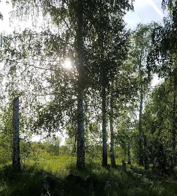 утро в берёзовом лесу