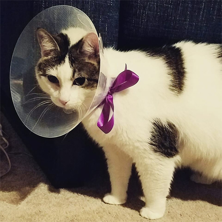 image of Olivia the White Farm Cat in a plastic collar tied on with a purple ribbon
