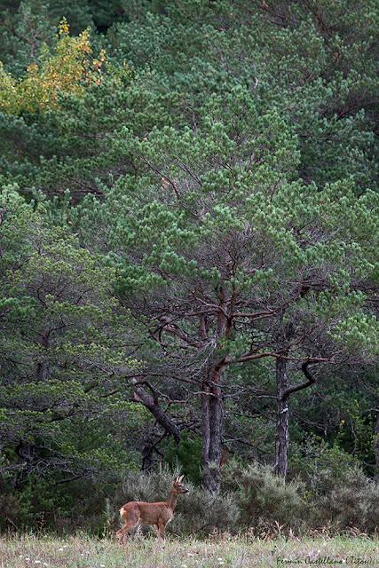 Corza (Capreolus capreolus)