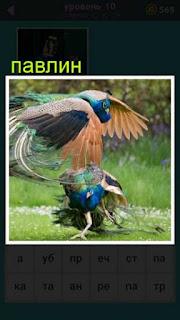 два павлина дерется между собой только перья в разные стороны