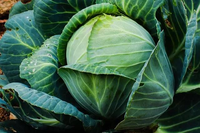 mature cabbage
