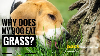 Dog grass eating solution