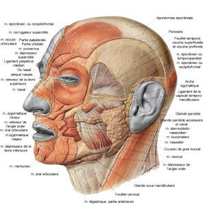 Apprendre les muscles de la tête