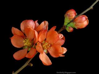 http://fotobabij.blogspot.com/2015/04/pigwowiec-japonski-kwiaty-chaenomeles.html