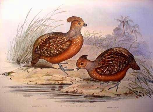 Starred Wood-quail