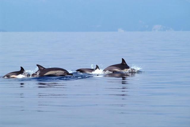 Δελφίνια στον Αργολικό κόλπο (βίντεο)