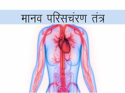 परिसंचरण पथ। मानव परिसंचरण तंत्र। हृदय काम कैसे करता है?