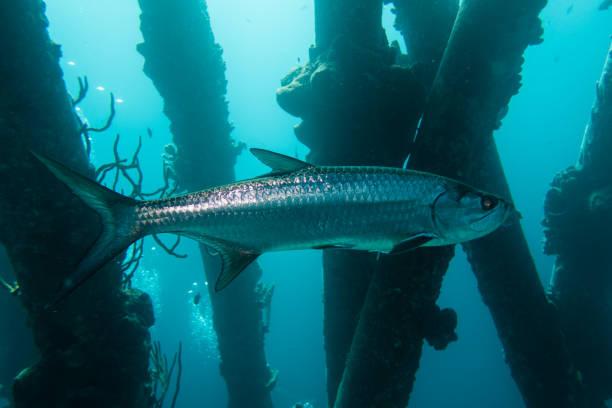 Tarpon Fishing - Catching the Silver King