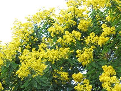 árvore_pau-cigarra_e_suas_belas_flores_amarelas