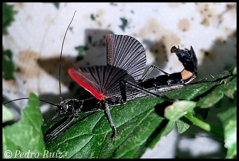 """Detalle de las alas de una hembra de Orthomeria kangi """"Benguet"""""""
