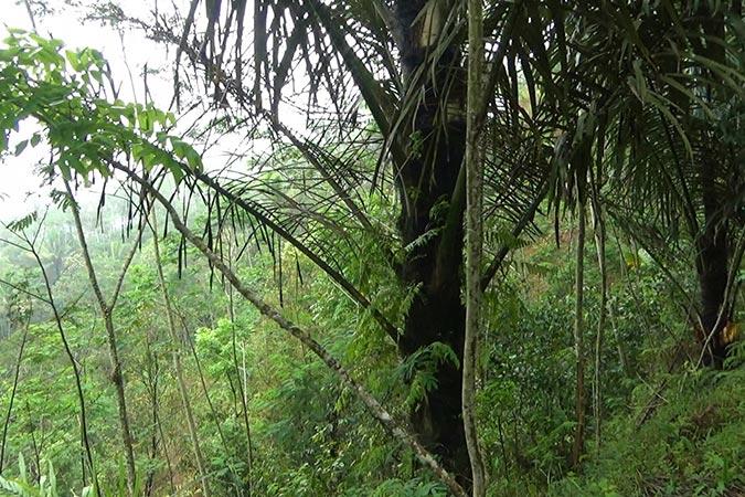 Dlium Sugar palm (Arenga pinnata)