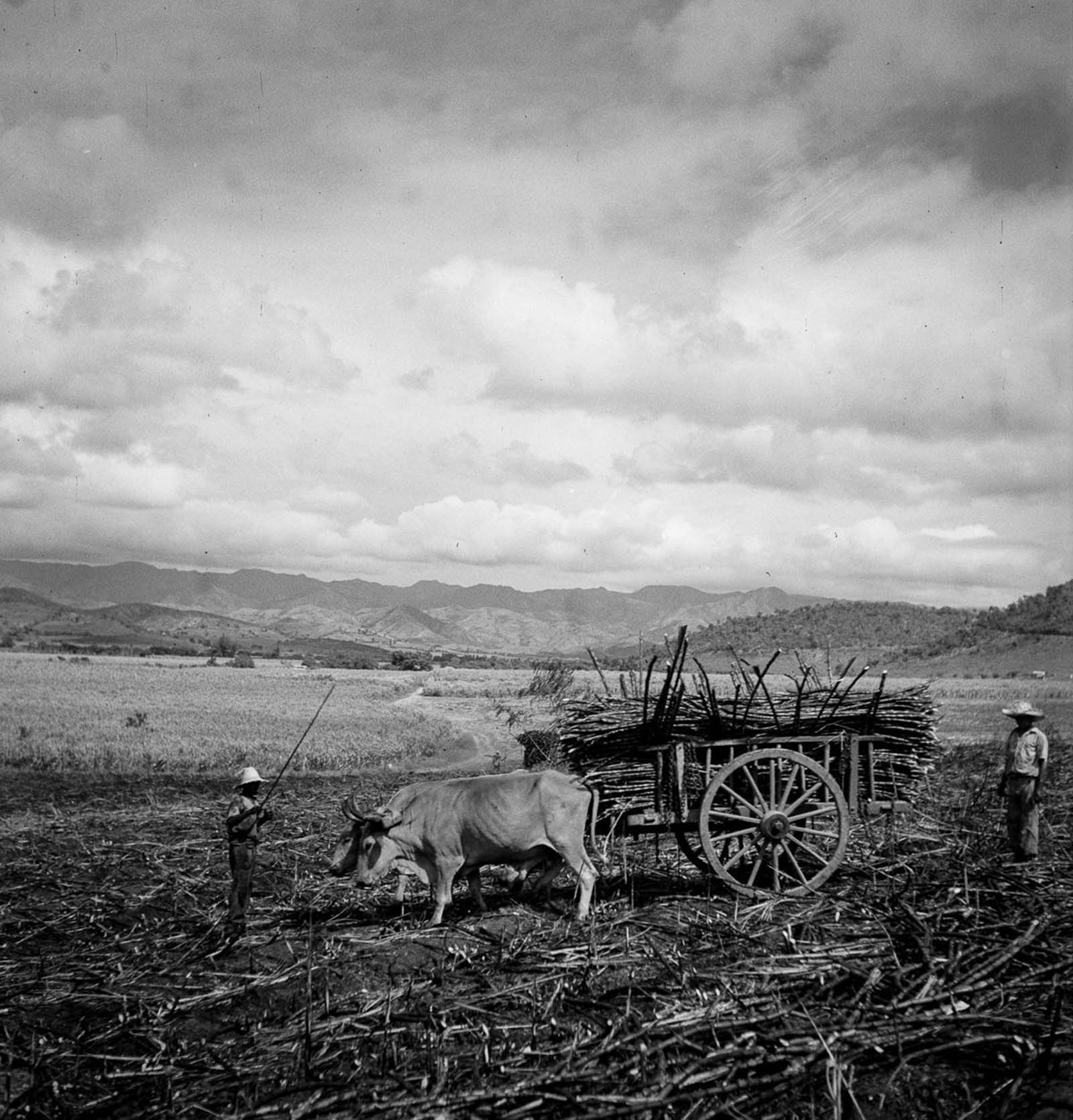 Laborers harvest sugarcane from a burned field near Guanica.