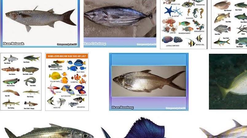 Nama Nama Ikan Laut Terlengkap Beserta Gambarnya