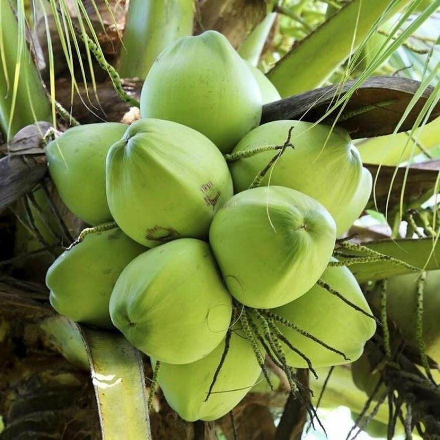 bibit kelapa hibrida super genjah Malang