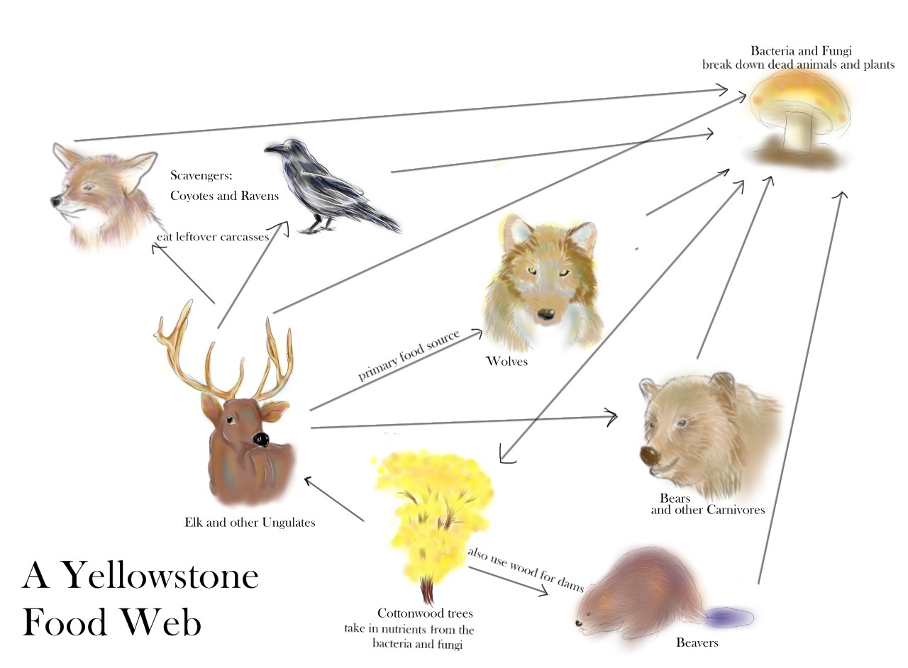 brown bear diagram vt wiring head unit grizzly bears role in food web