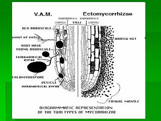 endomycorrhizal slide - photo #16