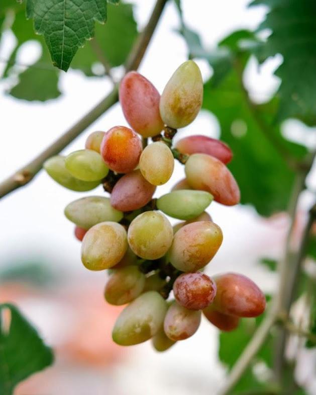 bibit anggur import new baikonur genjah Tanjungpinang