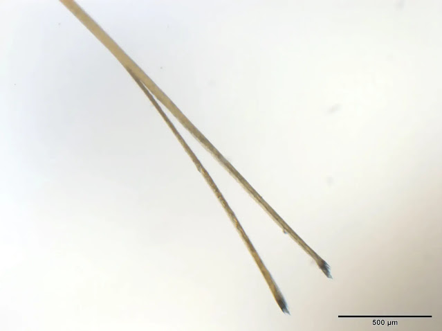 Hair with a Split end magnified.webp